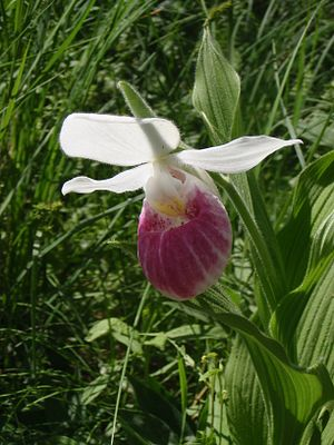 Lady slipper.JPG