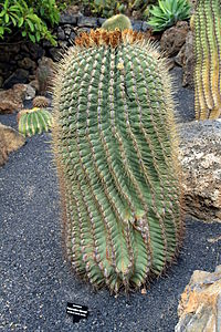 Ferocactus emoryi in Jardin de Cactus on Lanzarote, June 2013.jpg
