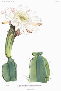 Typart D. nudiflorus, illustration från The Cactaceae[1]
